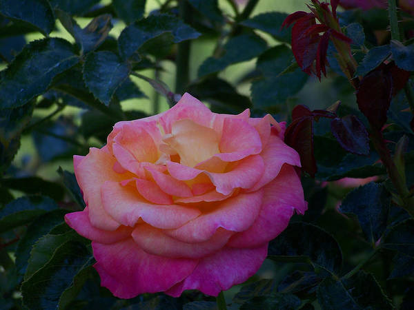 Pink Art Print featuring the photograph Pink Rose by Christofer Johnson