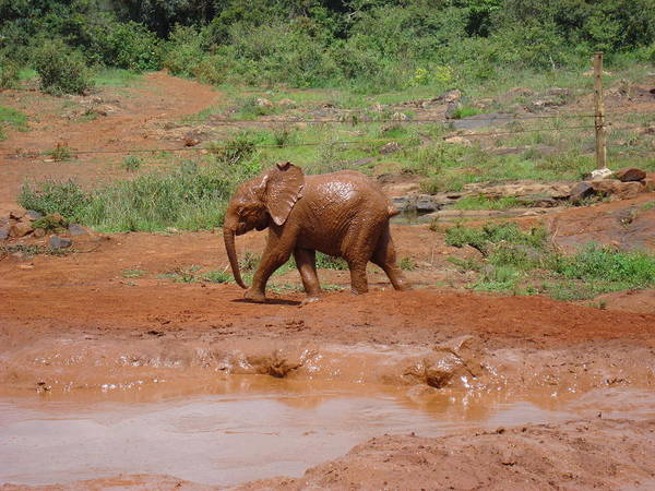 Elephant Art Print featuring the photograph Playing In The Mud by Carol Evans