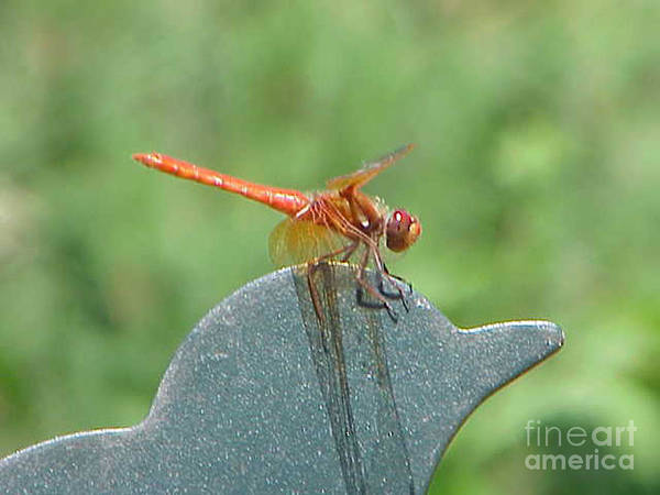 Dragonfly Art Print featuring the photograph Posing Red Dragonfly by Rob Ladely