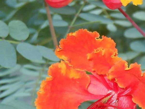 Sun Loving Plants Art Print featuring the photograph Pride On Fire by Lynn Maverick Denzer