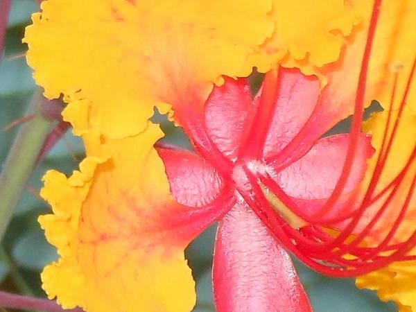 Sun Loving Plants Art Print featuring the photograph Pride Three Photo by Lynn Maverick Denzer
