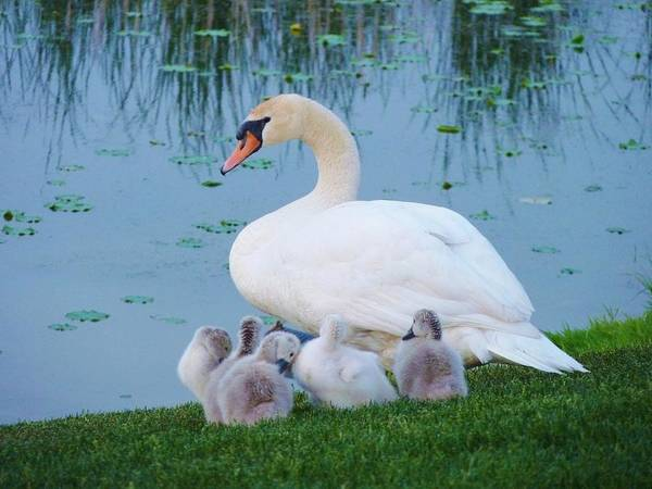 Birds Art Print featuring the photograph Proud Mother Swan by Jeanette Oberholtzer
