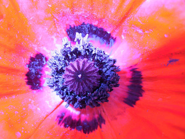 Poppy Art Print featuring the photograph Pure Poppy by Nathaniel Miller