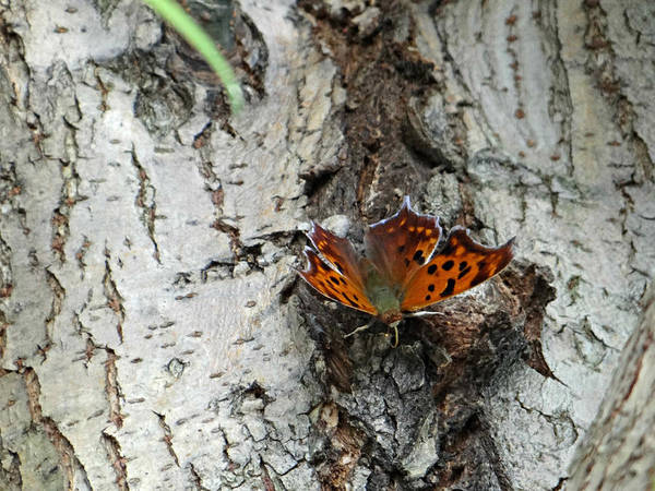 Butterfly Art Print featuring the photograph Question Mark Butterfly by Brenda Conrad