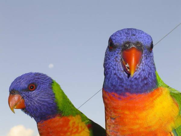 Birds Art Print featuring the photograph Rainbow Lorikeets by Pat Archer