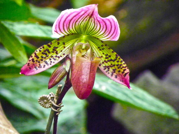 Orchid Art Print featuring the photograph Rainbow Orchid by Eve Spring