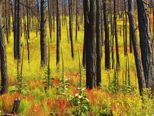 The Darkened Tree Trunks From Forest Fires Contrast With The Regrowth Of Wildflowers And Other Foliage In The Wilds Of New Mexico. Mother Nature Has A Plan Of Rebirth!  Photographer Sandy Feutz/feva Fotos Art Print featuring the photograph Rebirth by Feva Fotos