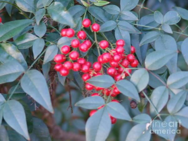 Art Print featuring the photograph Red Berries 1 by Rod Ismay