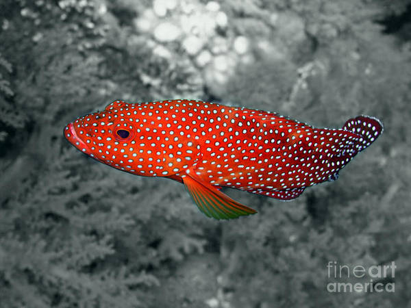 Red Coral Cod Print featuring the photograph Red Coral Cod by Serena Bowles
