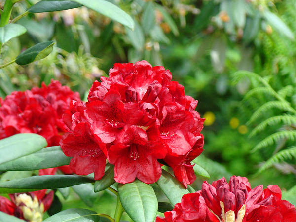 Rhodies Art Print featuring the photograph Red Rhododendron Floral Art Prints Rhodies by Baslee Troutman