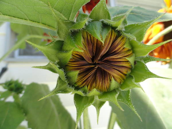 Sunflower Art Print featuring the photograph Reluctant To Bloom by Shannon Grissom
