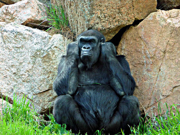 Silverback Art Print featuring the photograph Shutting Out The Noise by Jo Sheehan