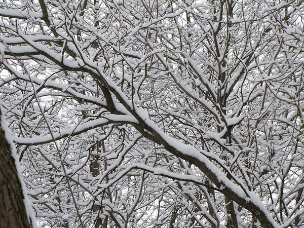 Tree Art Print featuring the photograph Snow Covered Branches by Angela Hansen