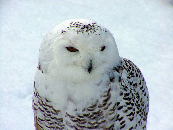 Snowy Owl Art Print featuring the photograph Snowy Owl by Don Downer