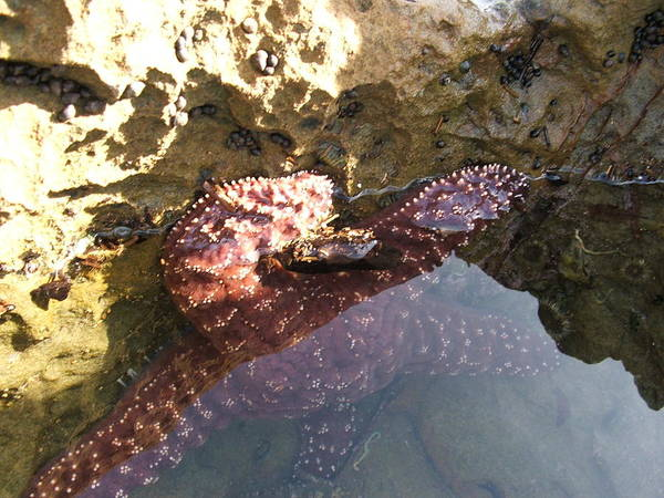 Art Print featuring the pyrography Starfish Ca Tidepools by Daniel Small