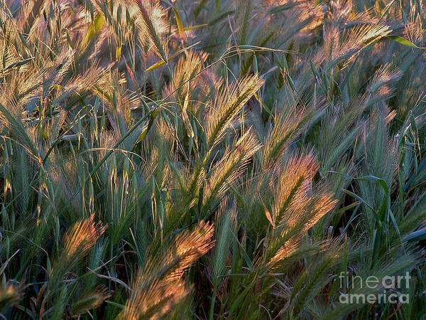 Grass Art Print featuring the photograph Sun Kissed Grass by Mary Attard