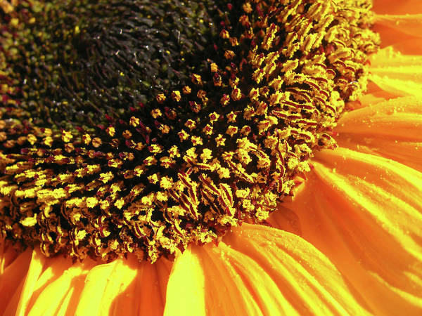 Sunflower Art Print featuring the photograph Sunflower Edge by Mary Lane