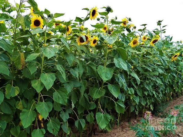 Sunflowers Sunflower Field Art Print featuring the photograph Sunflower Fields Forever  Four by Judy Via-Wolff