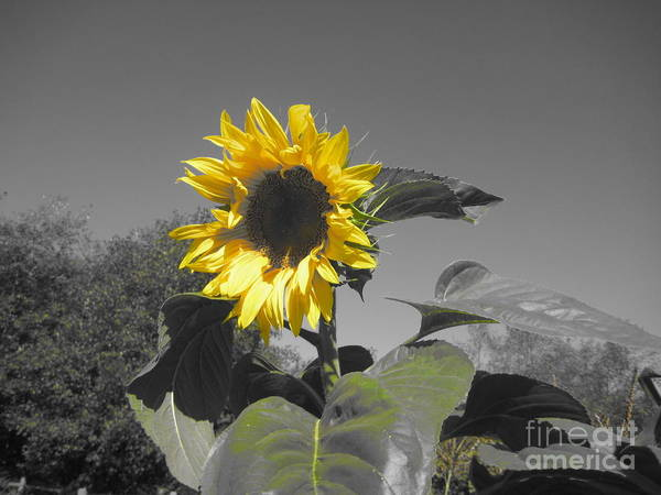Art Print featuring the photograph Sunflower by Nikki Taylor
