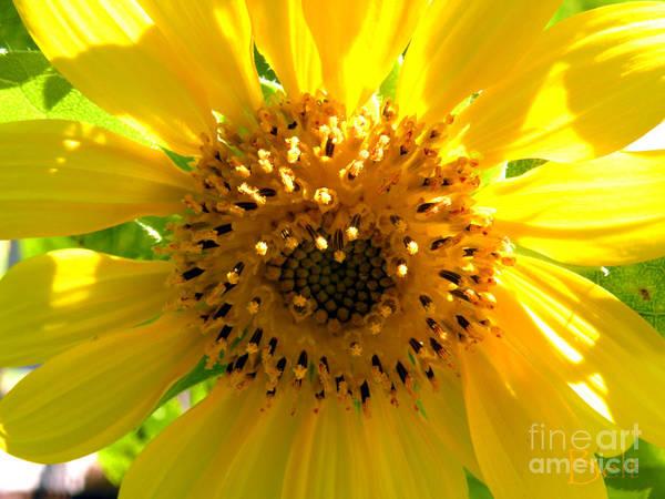 Sunflower Art Print featuring the photograph Sunflower No.10 by Christine Belt