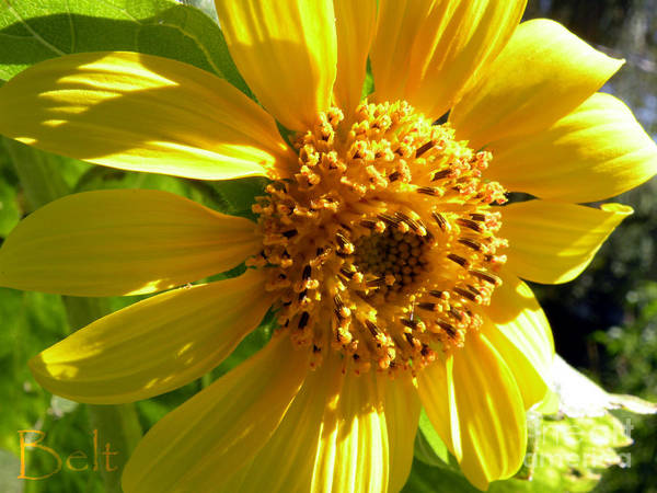 Sunflower Art Print featuring the photograph Sunflower No.11 by Christine Belt
