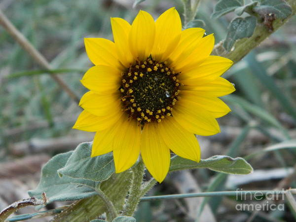 Flower Art Print featuring the photograph Sunflower Smile by Sara Mayer