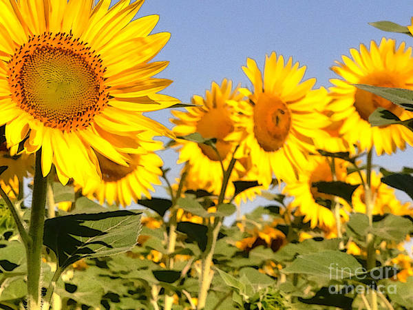Sunflowers Art Print featuring the photograph Sunflowering by David Bearden