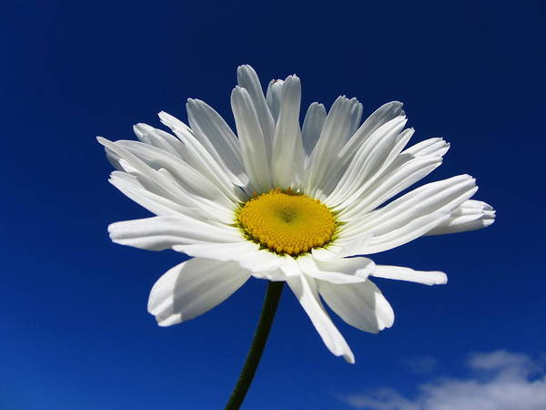 Horizontal Art Print featuring the photograph Sunlight Daisy by By Merete Stava