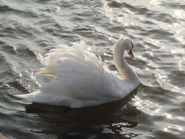 Mute Swan Art Print featuring the photograph Swan Lake by Sandra Cockayne