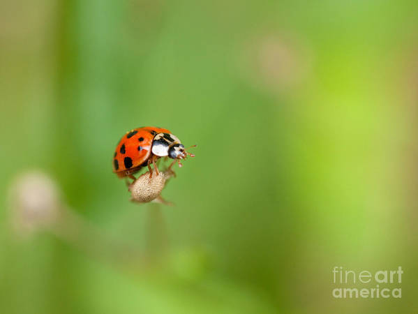 Ladybug Art Print featuring the photograph Taking Risks by Sue OConnor