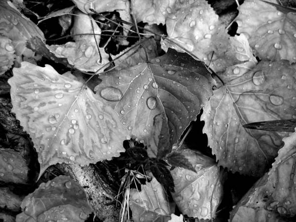 Leaves Art Print featuring the photograph Thirsty Leaves Black And White by Lora L Robertson