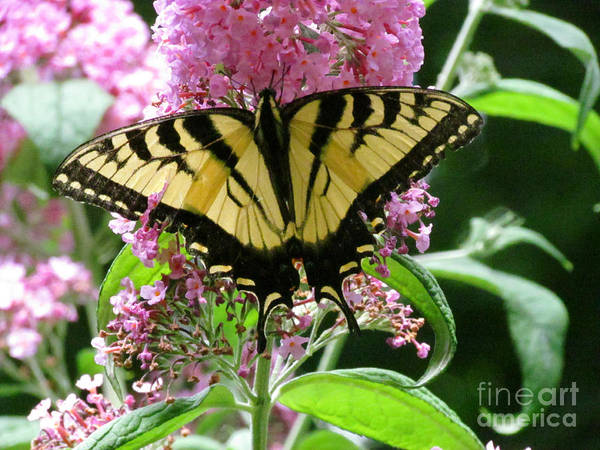 Butterfly Art Print featuring the photograph Tiger Swallowtail Butterfly by Randi Shenkman