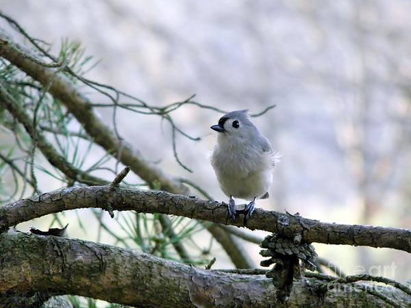 Titmouse Art Print featuring the photograph Titmouse by Lonna Ours