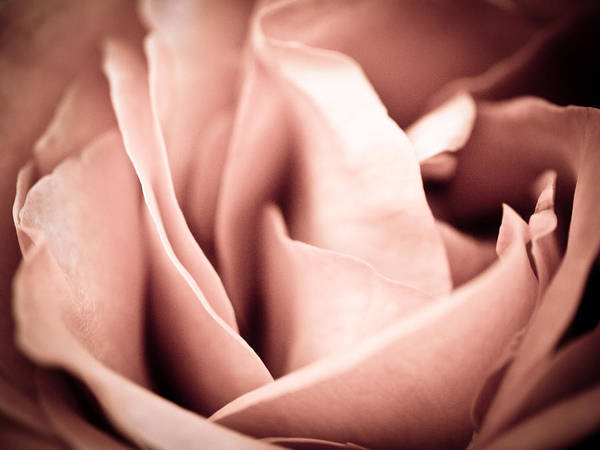 Rose Photographs Art Print featuring the photograph Transfigured Rose by Melody Carr