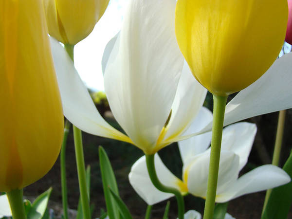 Tulip Art Print featuring the photograph Tulip Flowers Art Prints Yellow White Tulips Floral by Baslee Troutman