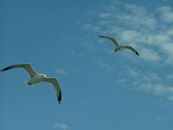 Seagull Art Print featuring the photograph Two Seagull In The Sky by Dennis Pintoski