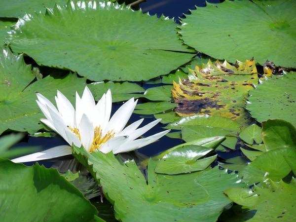 Nature Art Print featuring the photograph Water Lily by Robin Becker