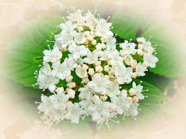 Hydrangea Art Print featuring the photograph White And Cream Hydrangea Blossoms by Mother Nature