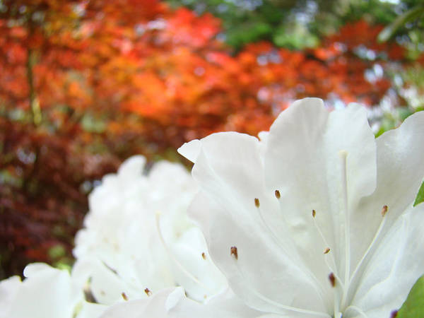 Rhodies Art Print featuring the photograph White Rhododendron Flowers Autumn Floral Prints by Baslee Troutman