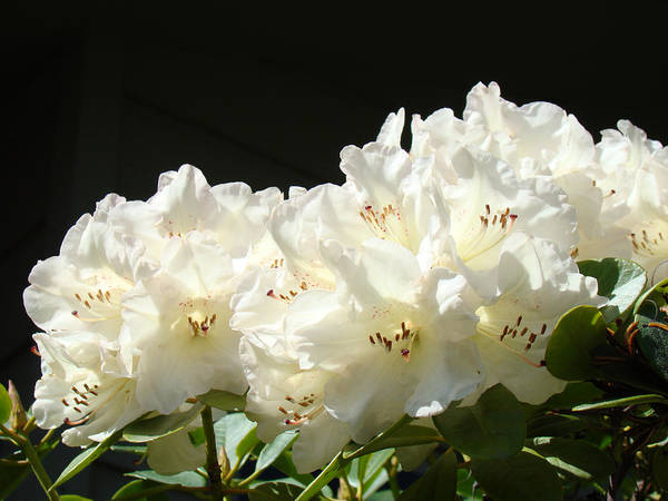 Rhodies Art Print featuring the photograph White Sunlit Floral Art Prints Rhododendron Flowers by Baslee Troutman