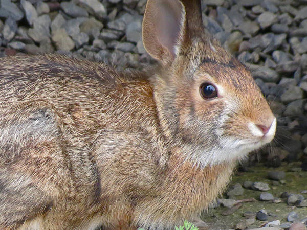 Bunny Art Print featuring the photograph Wild Rabbit by Azthet Photography