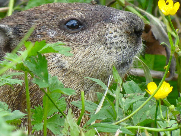Animals Art Print featuring the photograph Woodchuck by Azthet Photography