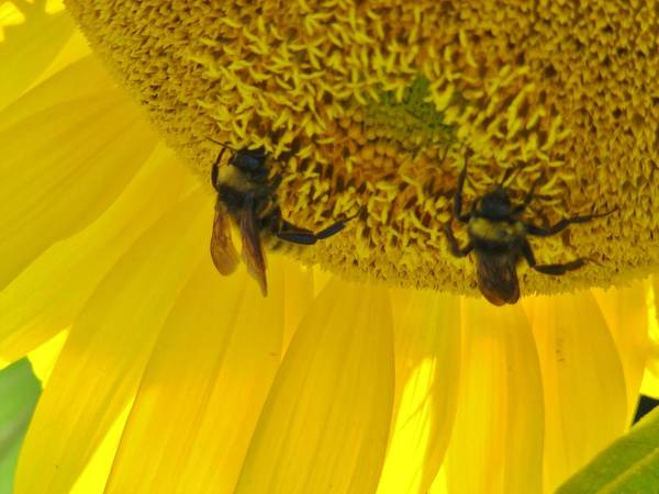 Bee Art Print featuring the photograph Working On The Sun by Michael MacGregor
