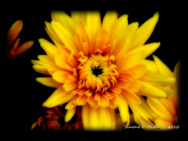 Mum Art Print featuring the photograph Yellow Mum by Simone Hester