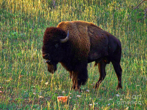 Buffalo Art Print featuring the photograph Buffalo Custer State Park by Tommy Anderson
