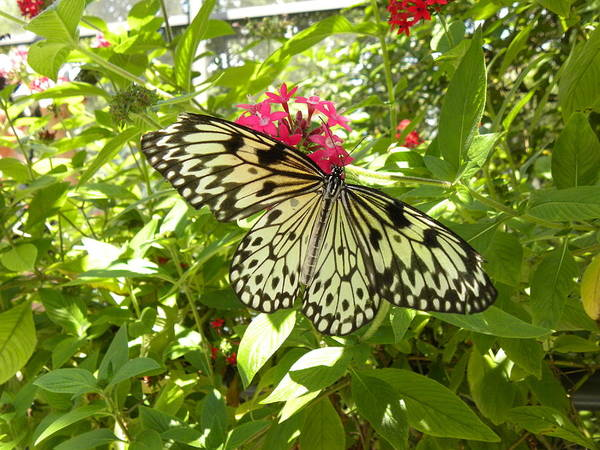 Butterfly Art Print featuring the photograph Butterfly-1 by Janet Dickinson