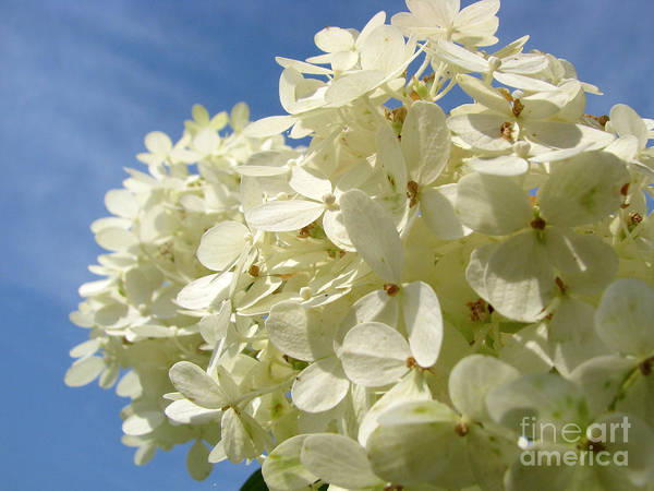 Hydranga Art Print featuring the photograph Hydrangea by Amanda Barcon