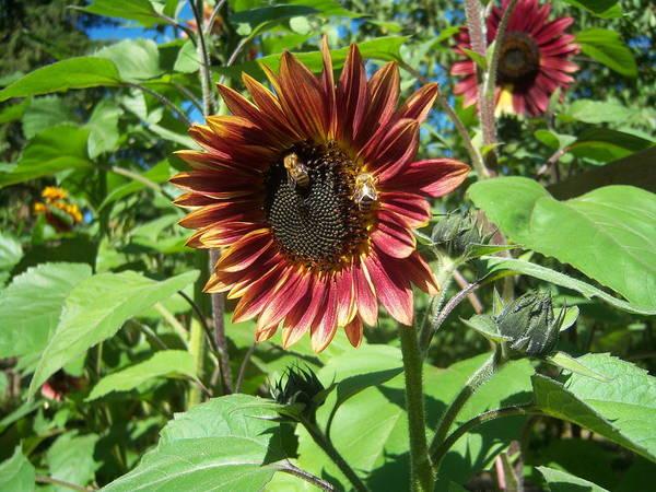 Sun Art Print featuring the photograph Sunflower 133 by Ken Day