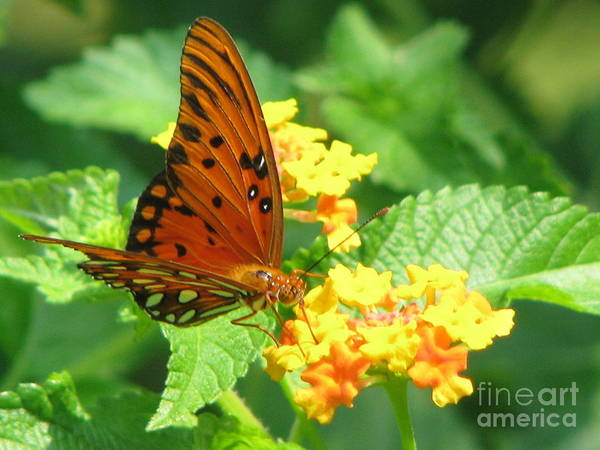 Butterfly Art Print featuring the photograph Butterfly by Amanda Barcon