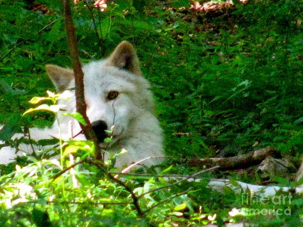 I Found The Shade Art Print featuring the photograph The Wild Wolve Group B by Debra   Vatalaro